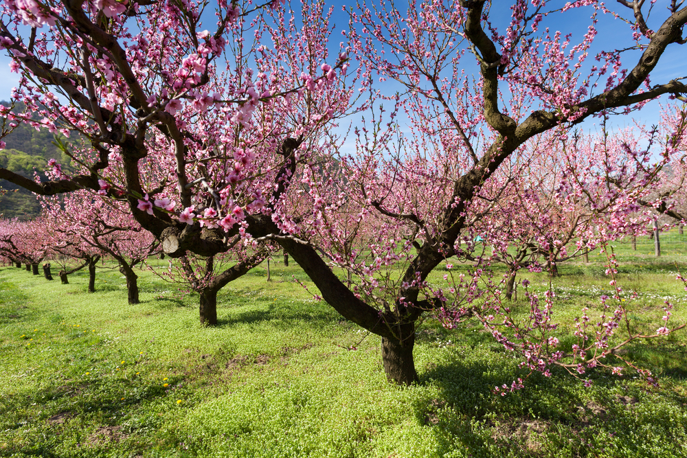 Why planting fruit trees is a good idea